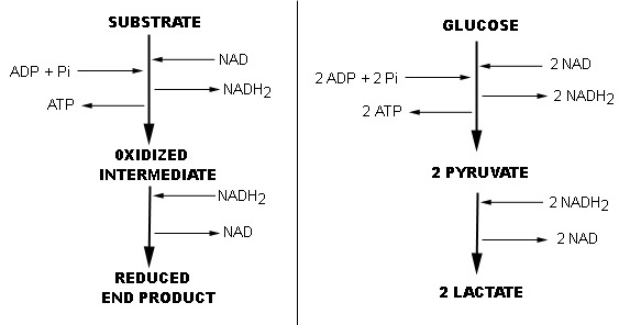 propionate cycle